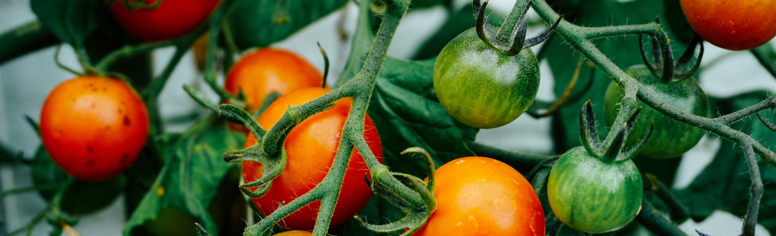 pomidorowa_slider